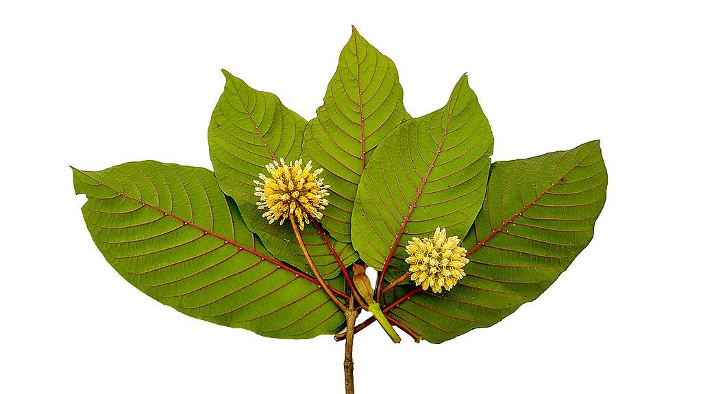 Blätter des Kratom-Baums: Gefährlich statt gesund