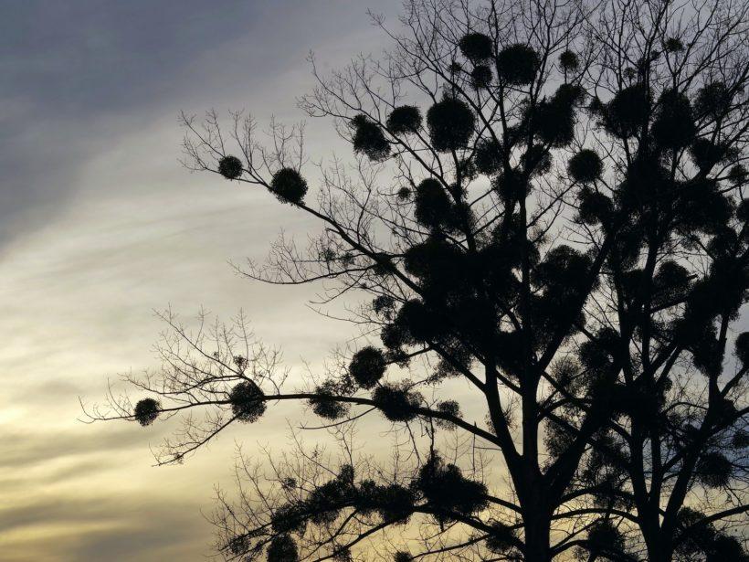 Foto eines Baums mit Misteln